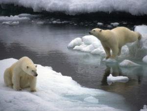 דובי הקוטב בסכנת הכחדה. צילום: גרינפיס
