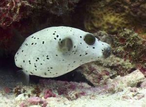דגי האבו נפחא של ים סוף נבדלים מאוד מדג האבונפחא שנראה מהונדס גנטית