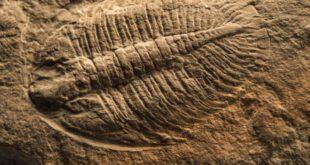מאובן בן 530 מיליון שנים