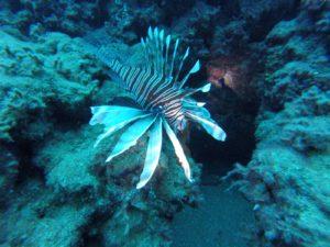 דג הזהרון כפי שצולם בחוף מרידיאן בחיפה. צילןם: EF