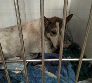הכלבה מתאוששת אחרי הניתוח