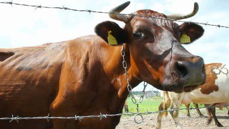 ניו יורק תקצץ ב-50% את צריכת בשר הבקר