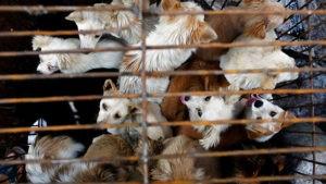 כלבים למאכל בשוק הבשר בוואהן. צילום | רויטרס